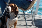 Beagle on a boat.